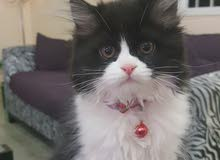 قطط شيرازي ذكر وانثي للبيع