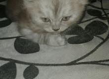 قطط شيرازى مون فيس