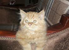 اخر قطة شيرازي نقية..لا تضيع الفرصة