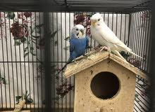 للبيع طيور حب .. بادجي مع القفص ..