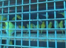 طيور حب هولندي درجة اولى قفص كامل للبيع