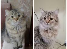 قطتين عمر 9 شهور