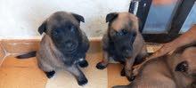 pure puppies belgium malinois