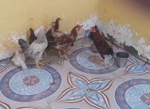 دجاجات البيع