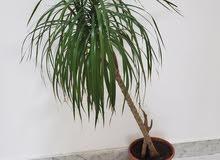 نبات للزينة