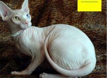 FEMALE CAT BAMBINO SPHINX ALBINO BREEDING/MATTING
