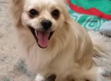 كلب بكينواه ذكر عمره سنتين واخد تطعيمات وهو بحالة جيدة