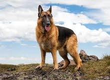 مطلوب شراء كلب روت انثي او جيرمن عمر 3 اشهر