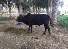 ثيران عمانيه للبيع