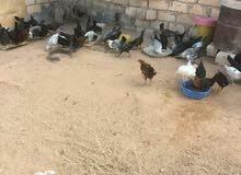 دجاج مخلط عربي وفيومي
