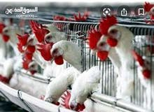 مطلوب معلم ذبح دجاج (حي) وتقطيع ذو خبرة في منطقة جبل لقصور