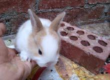 أرنب الليف بيتي للأطفال محصن ضد الأمراض