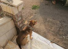 كلب بيتبول رد نوز