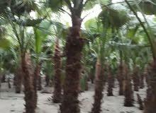 اشجار نخيل زينة شامل التوصيل والتركيب