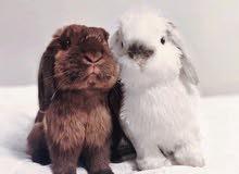 ارانب فازي لوب القزمه mini loop rabbits