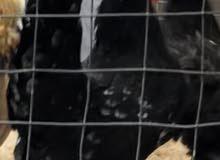 دجاجة تايلندية زاحف لون بوران بسعر مناسب