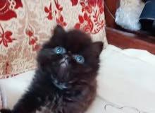 قط شيرازي بيكي فيس مستوي عالي