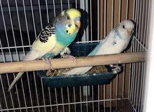 للبيع طيور مع بيض