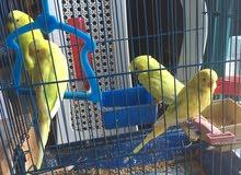 4 عصافير استراالي للبيع بالقفص