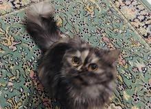 قطه انتي عمرها سنه
