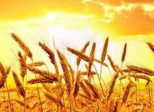 كمية من القمح 25000 طن