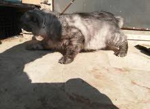 قطط ذكر شنشال