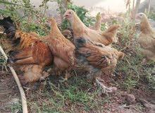 للبيع مجموعه دجاج براهما الاصلي
