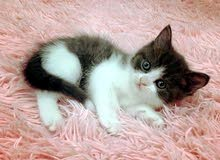 kitten british