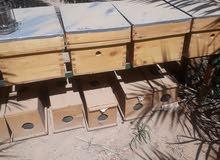 انشاء مناحل وبيع خلايا النحل وفرز العسل 50733026