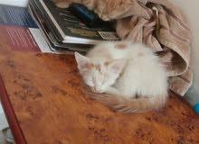 kitten for adoption للتبني