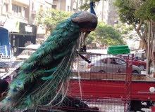 جوز طاووس للبيع