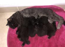 قطط شيرازيه للبيع 4 صغار مع الام