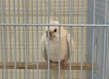 طير كوكتيل العمر 3 شهور صحه ونشاط