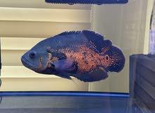 Big Oscar Fish