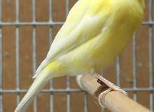 طيور كناري بسعر مميز للبيع