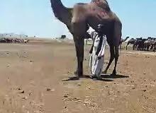 نوفر لكم رعاة ابل واغنام من السودان