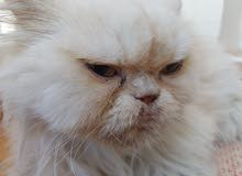 Persian long hair punched pekky face male cat