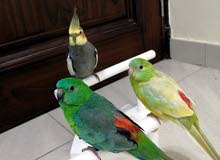 For Sale ( Red-rumped Parrot )