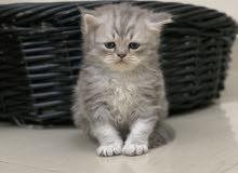 scottish Persian kitten