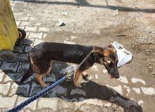 كلاب  جيرمن العمر 4اشهر