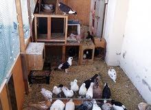 Healthy breed pigeons