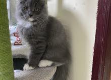 Persian kitten 3 mos old