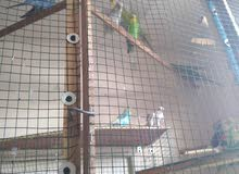 8 budgies adults for sale