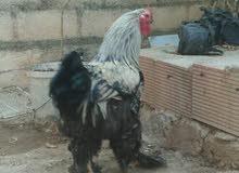 دجاج الزينة،  براهما،