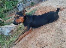 كلبه للبيع عمرها 3 شهور تقريبا