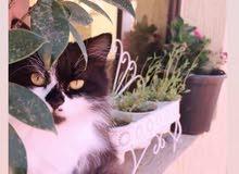 قطة شيرازي اليفه ولعوبة جدا وملقحه((القطة حامل))