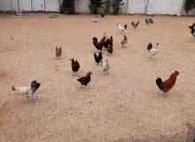 دجاجة وفروج