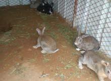 ارانب عدده 9 الي بيع