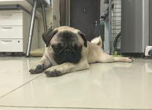 للبيع كلب بق مستورد  bug for sale