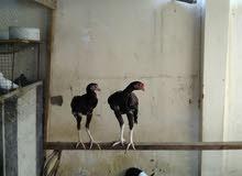دجاج بكستاني
